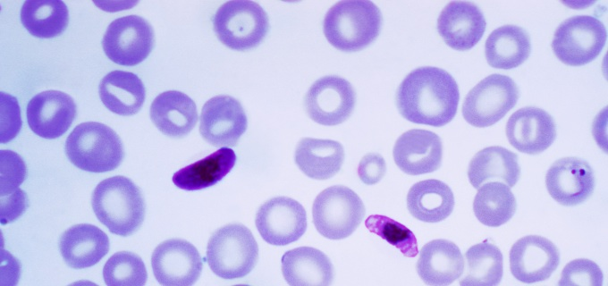 Adaptation of Malaria Parasites to Changes in Their Environment: to Bet or Not to Bet
