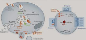 Extracellular Vesicles in the Regulation of Host-Pathogen Interactions During Malaria