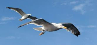 More than 50% of Seagulls Analysed in Barcelona are Carriers of 'E.coli' Bacteria Resistant to Several Antibiotics