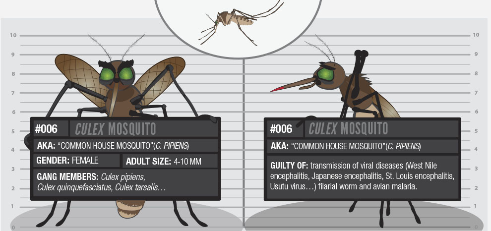The Common House Mosquito: An Unwanted Companion in Our